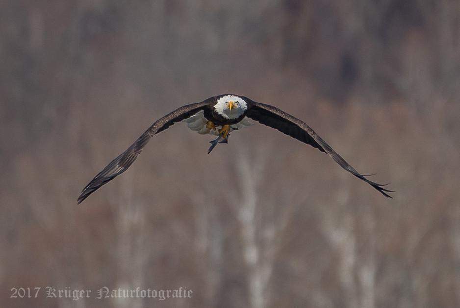 Bald Eagle-4620