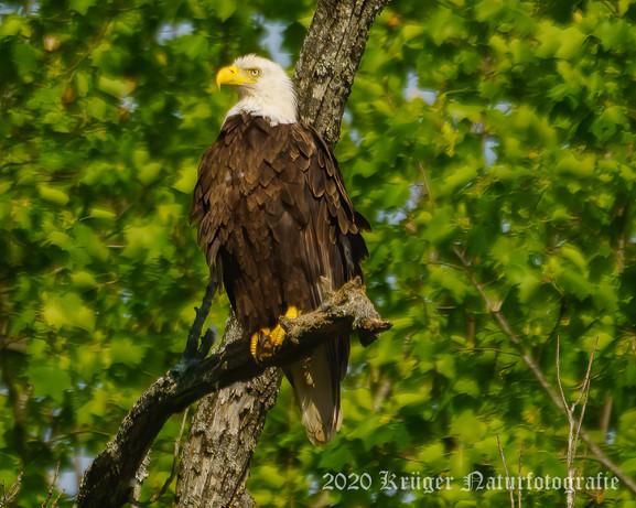Bald Eagle-2138