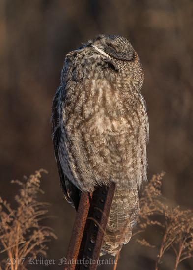 Great Gray Owl-1810