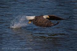 Series 2 - Bald Eagle-4231