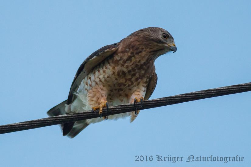 Broad-winged Hawk-0030