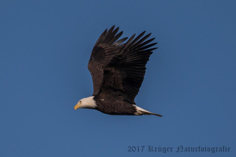 Bald Eagle-3532