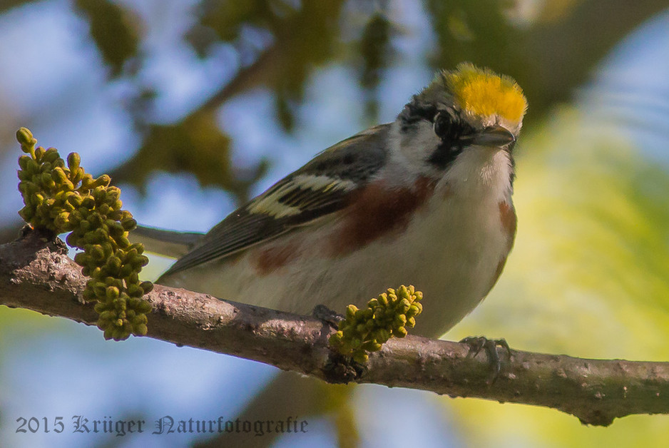 Chestnut-sided Warbler-9732