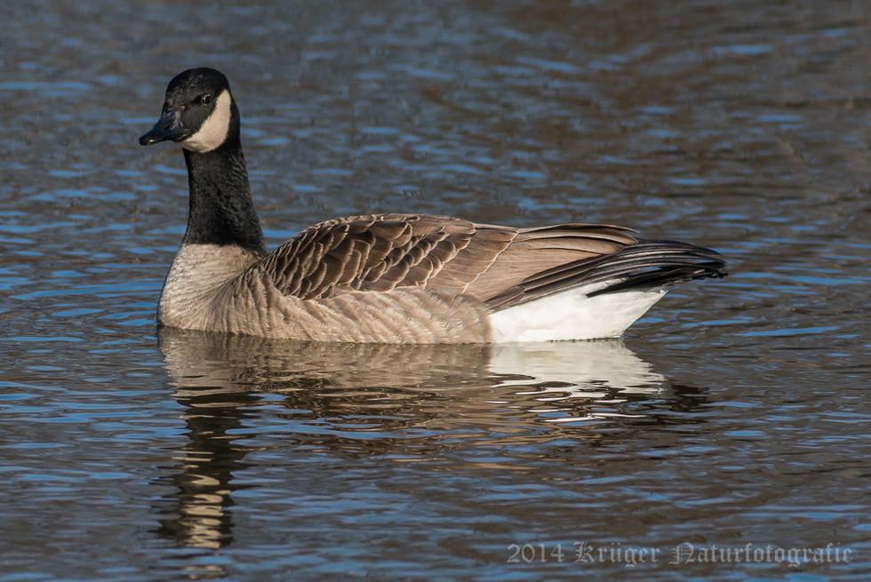 Canada Goose-0222