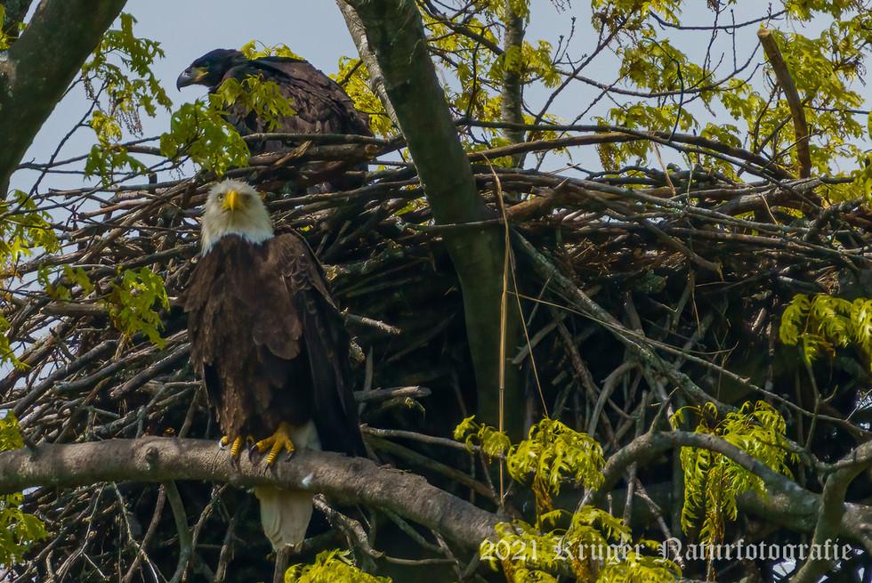 Bald Eagle-04919