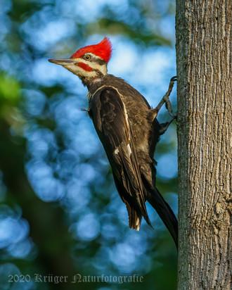 Pileated Woodpecker-2960