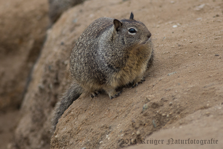 California Ground Squirrel-8200