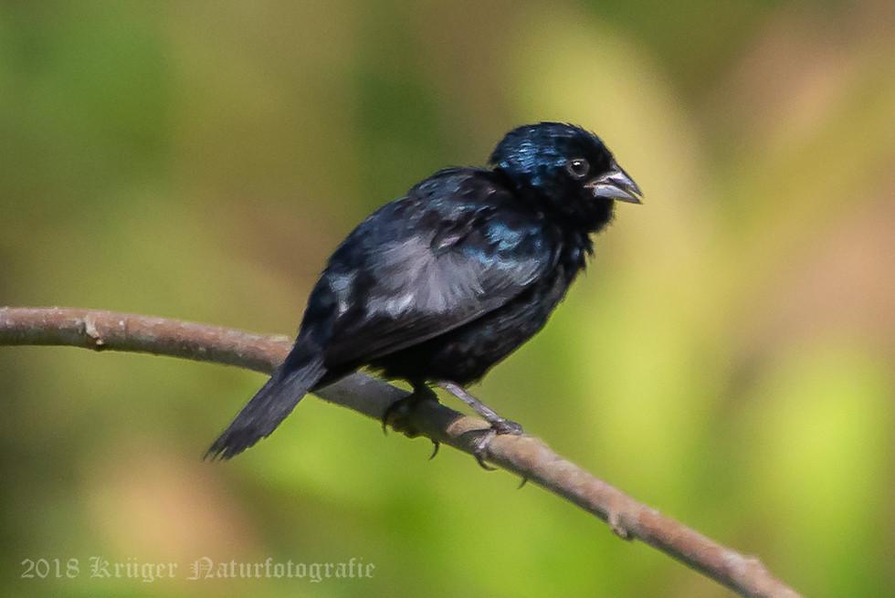Blue-black Grassquit-