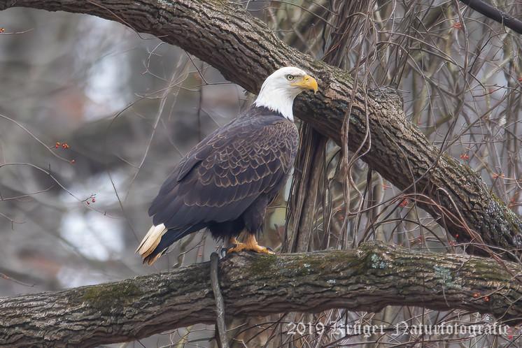 Bald Eagle-4140