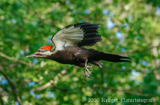 Pileated Woodpecker-3091