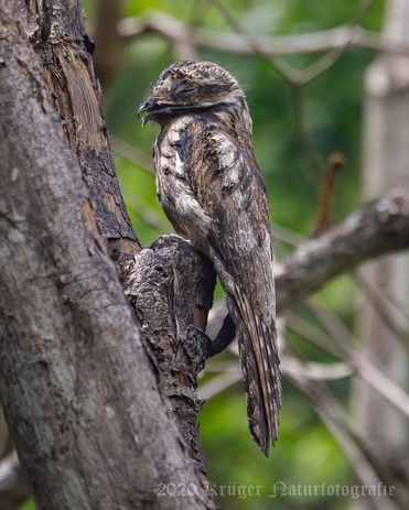 Common Potoo-2057