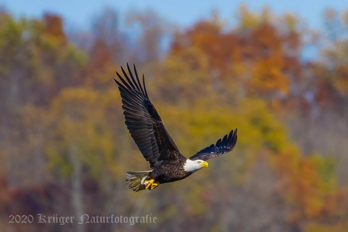Bald Eagle-7389