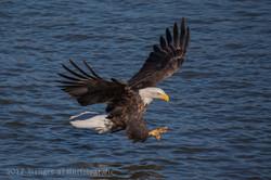 Series 2 - Bald Eagle-4229