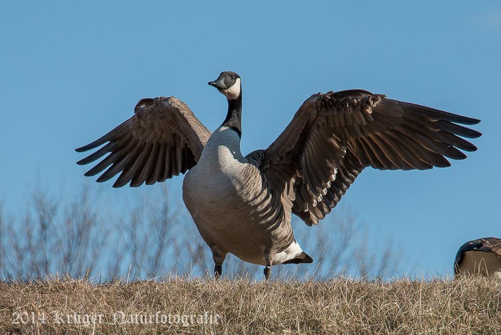 Canada Goose-0068