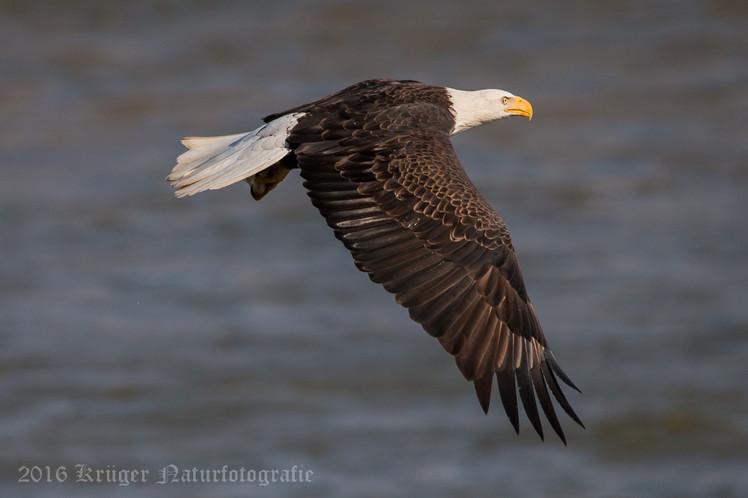Bald Eagle-0592