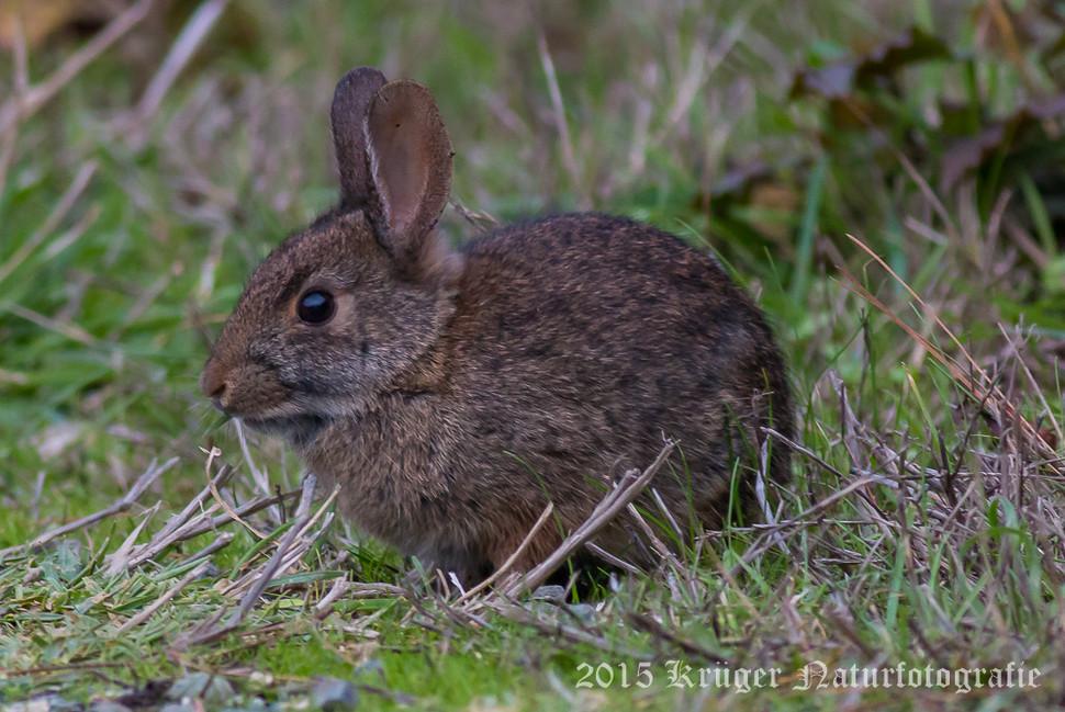 Brush Rabbit-2081