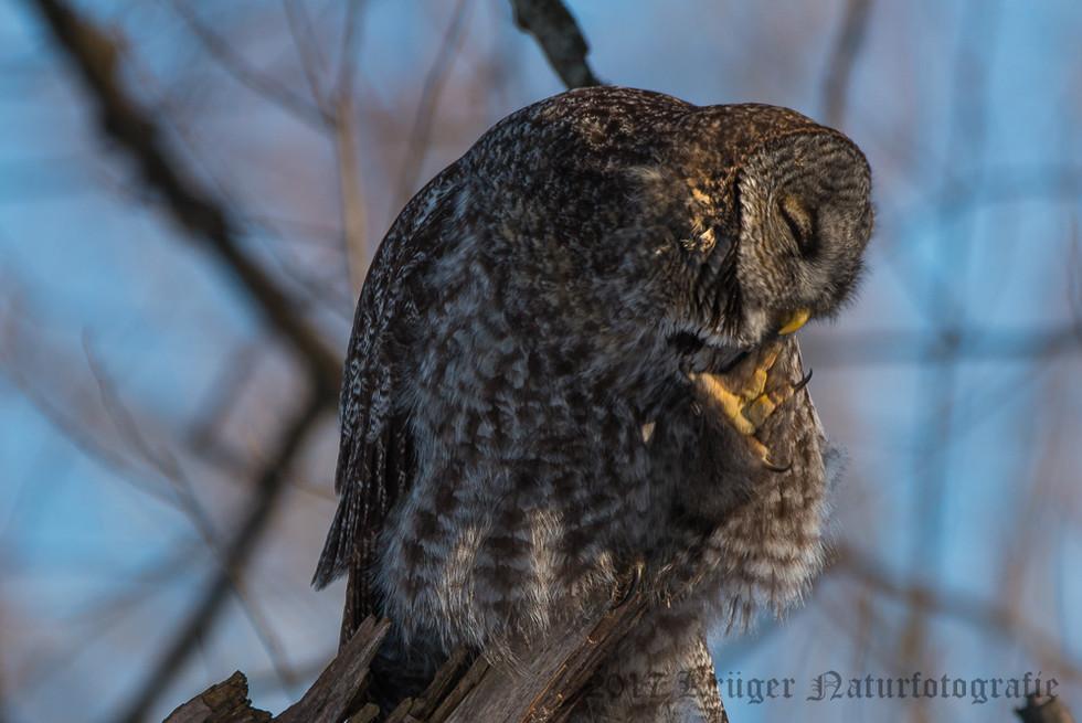 Great Gray Owl-1672