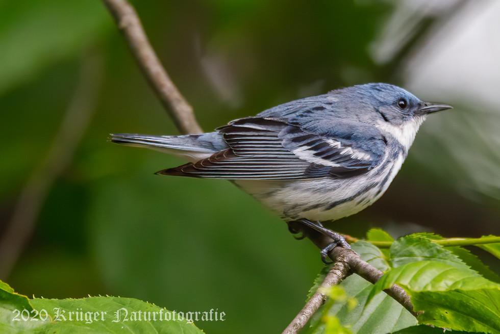 Cerulean Warbler-3849