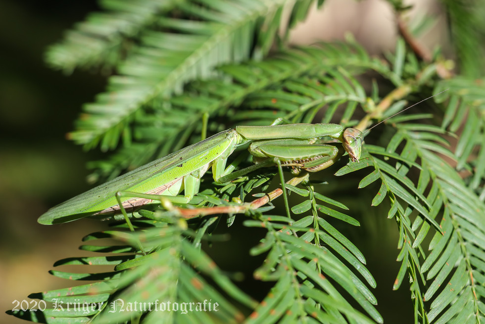 Praying Mantis-4280