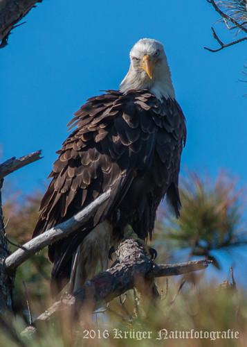 Bald Eagle-9788