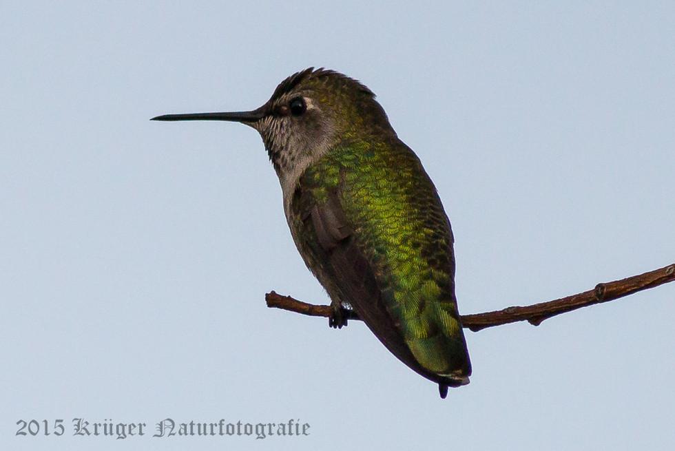 Anna's Hummingbird-2442