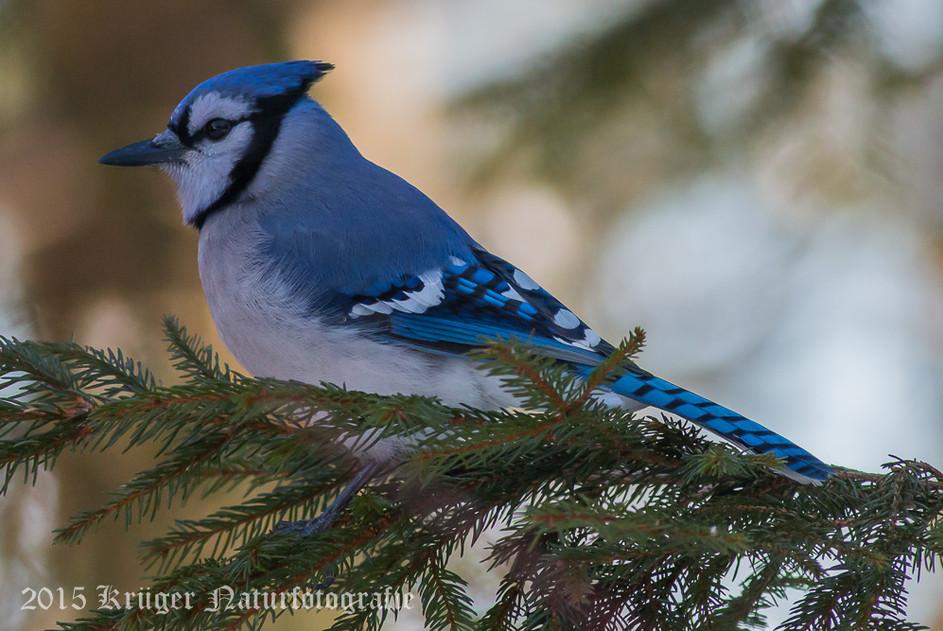 Blue Jay-1811