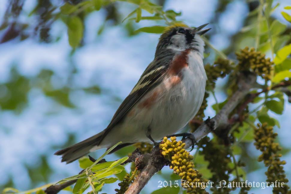 Chestnut-sided Warbler-9738