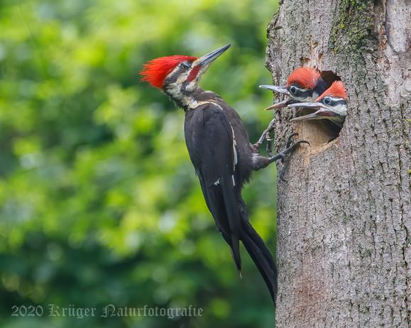 Pileated Woodpecker-3756