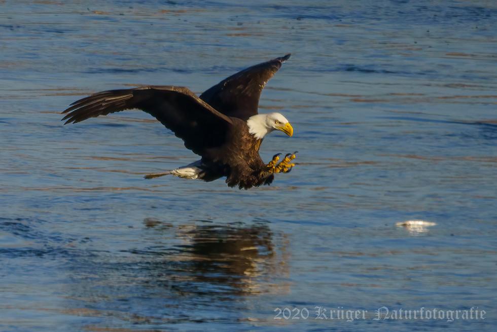 Bald Eagle-7116