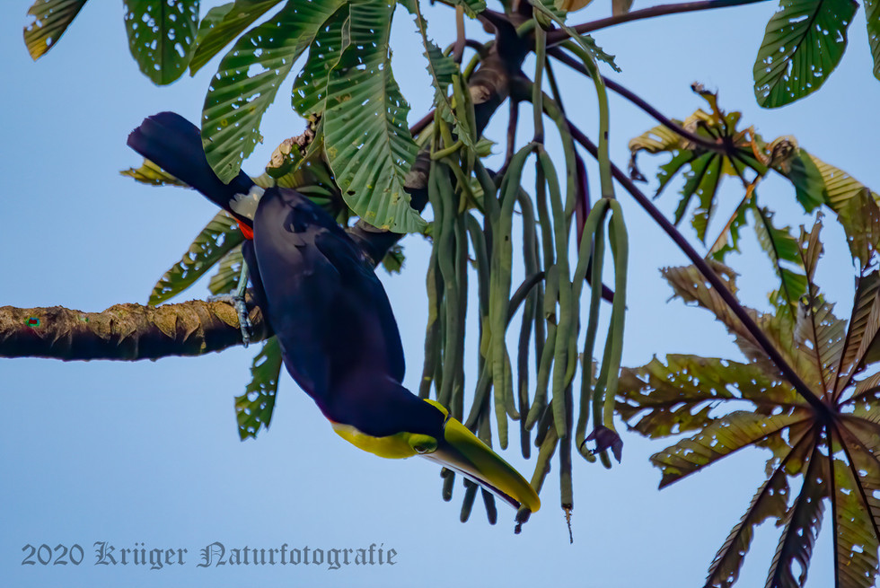 Yellow-throated Toucan-1609