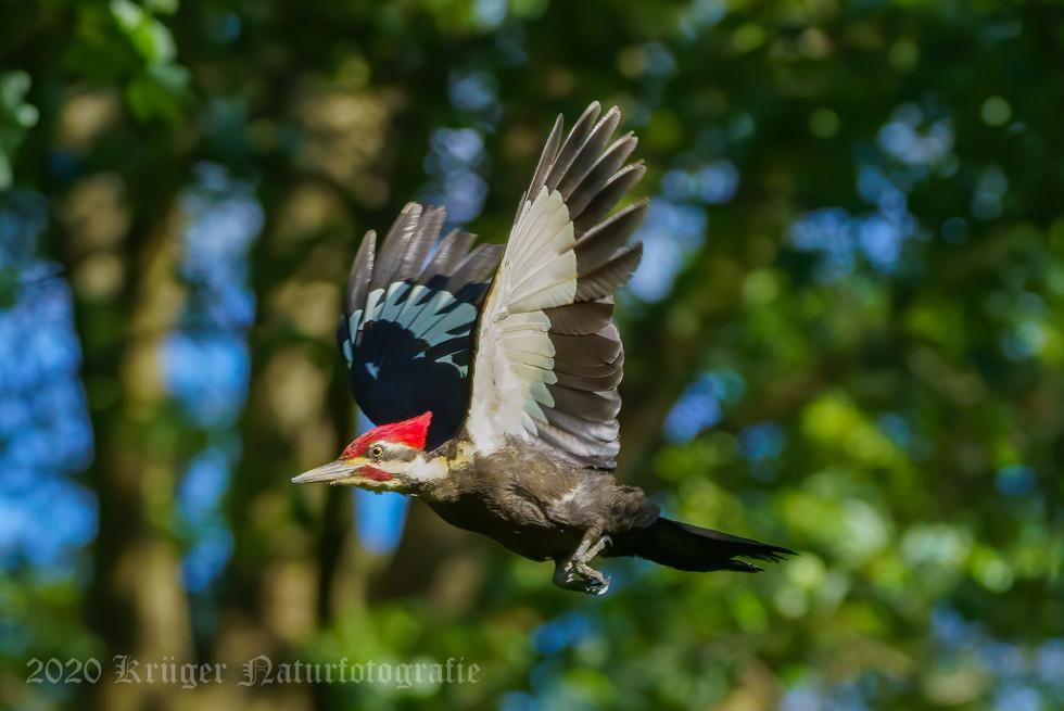 Pileated Woodpecker-3867