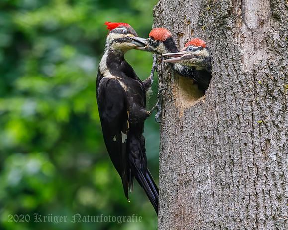 Pileated Woodpecker-3672