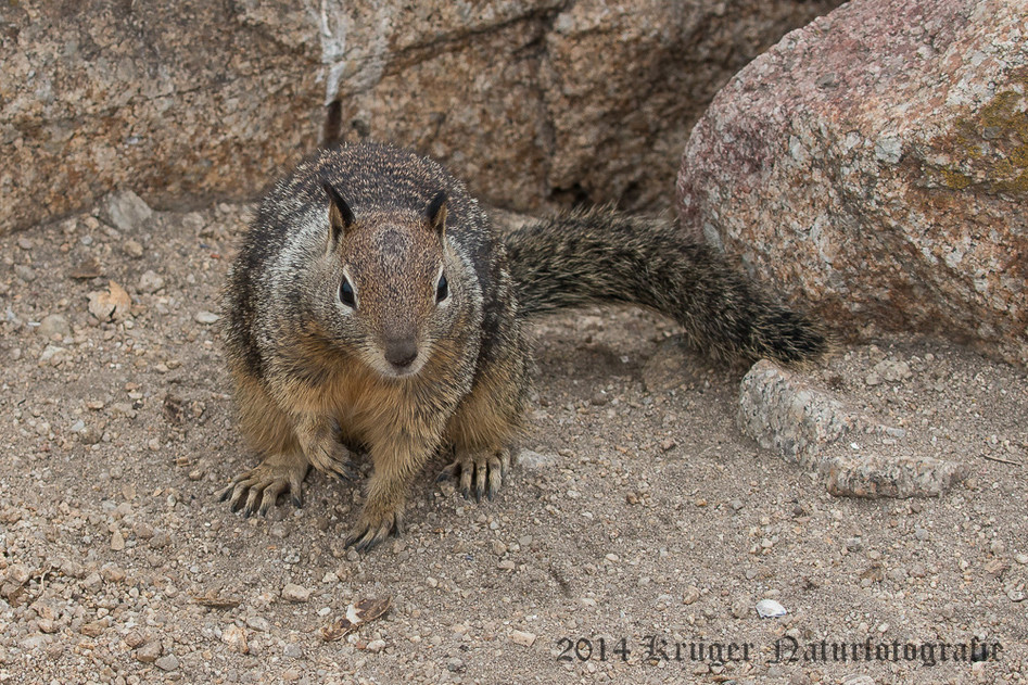 California Ground Squirrel-8242