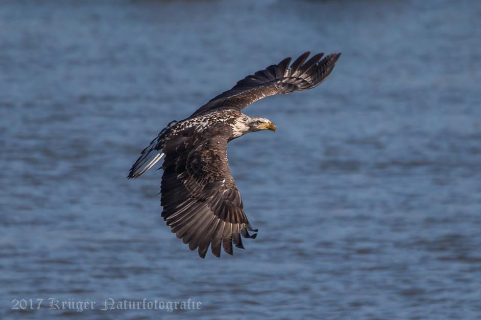Bald Eagle-4292