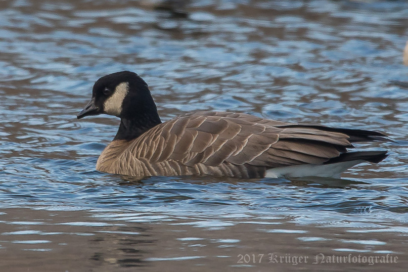 Cackling Goose-6410