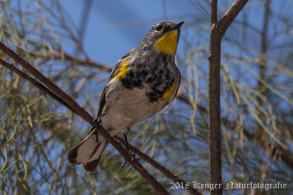 Audobon's Yellow-rumped Warbler-6813