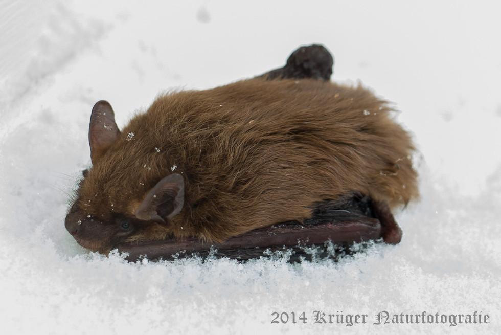 Big Brown Bat-1731