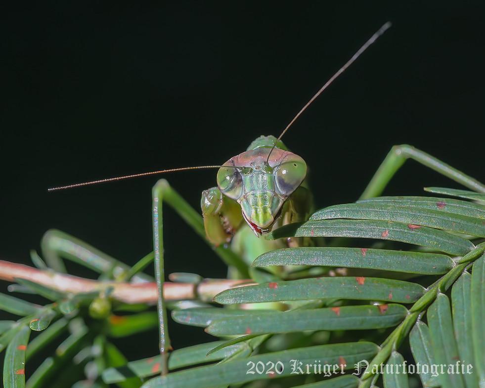 Praying Mantis-4287
