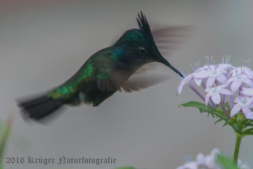 Antillean Crested Hummingbird-0210