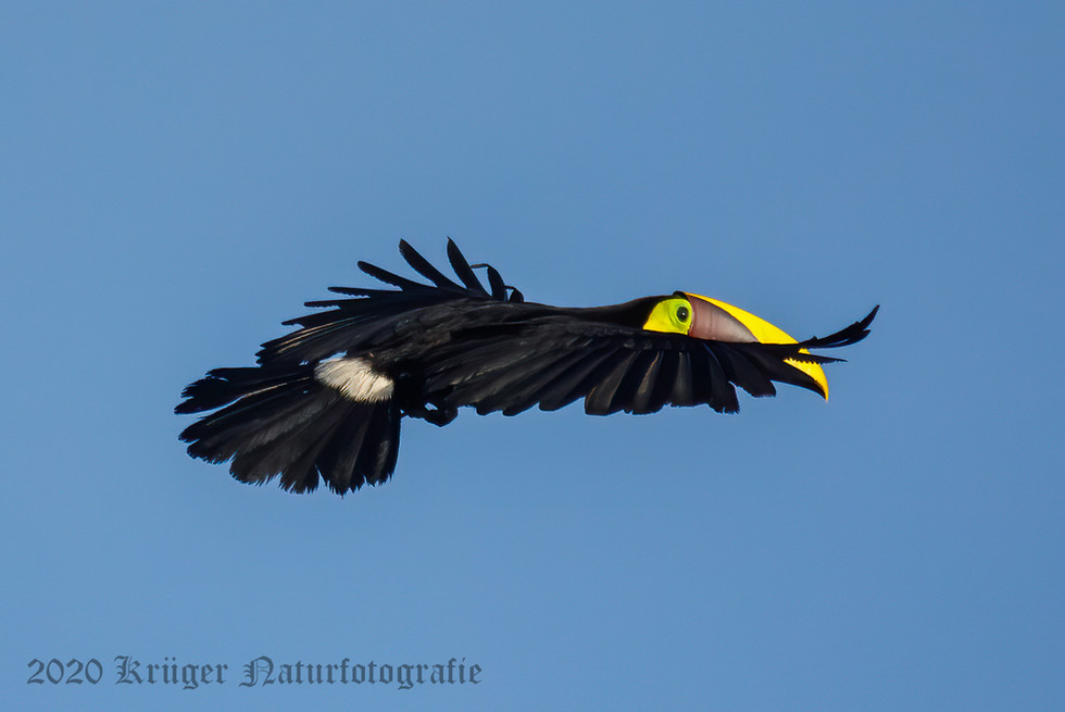 Yellow-throated Toucan-2620
