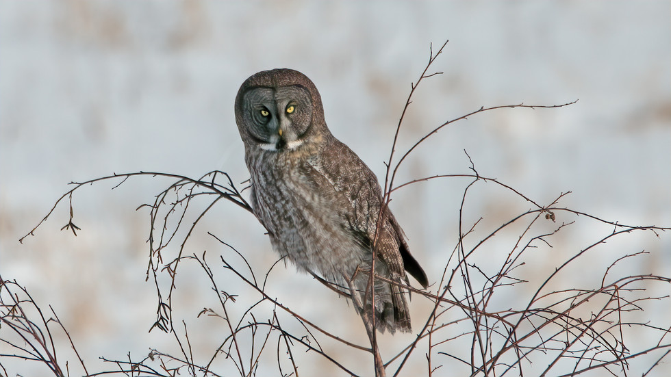 Great Gray Owl_1470