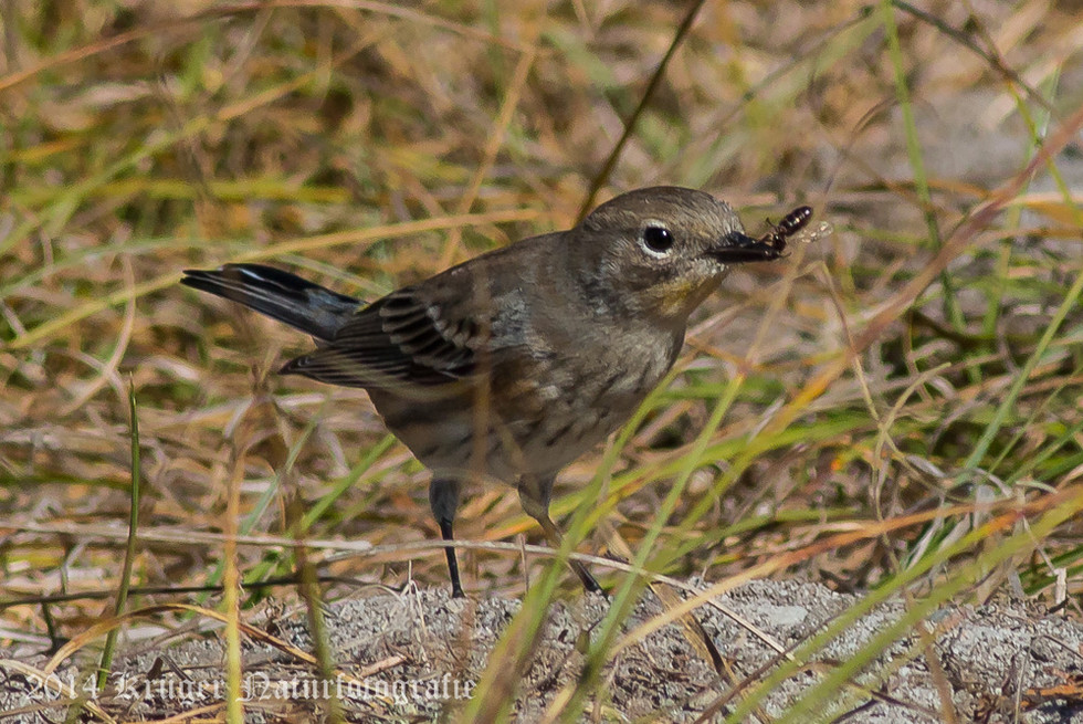 Audobon's Yellow-rumped Warbler-8817