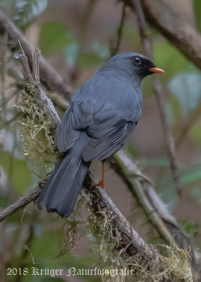Black-faced Solitaire-5760