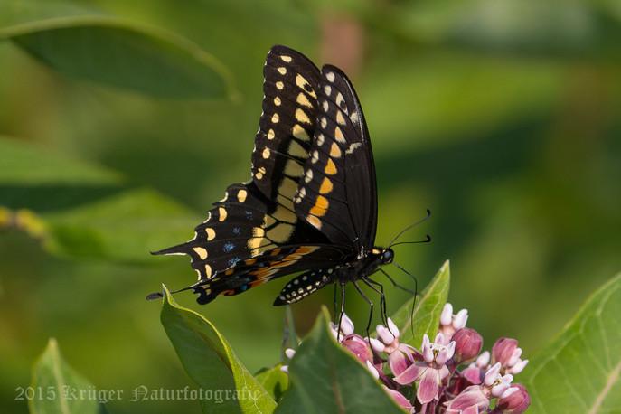 Black Swallowtail-2578