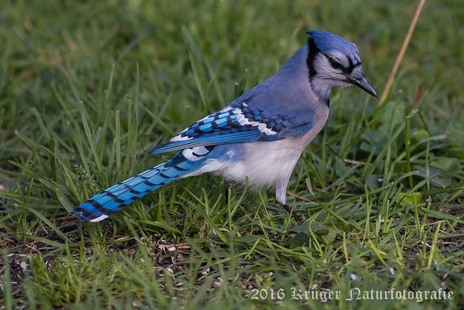 Blue Jay-5157