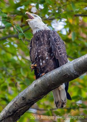 Bald Eagle-2672