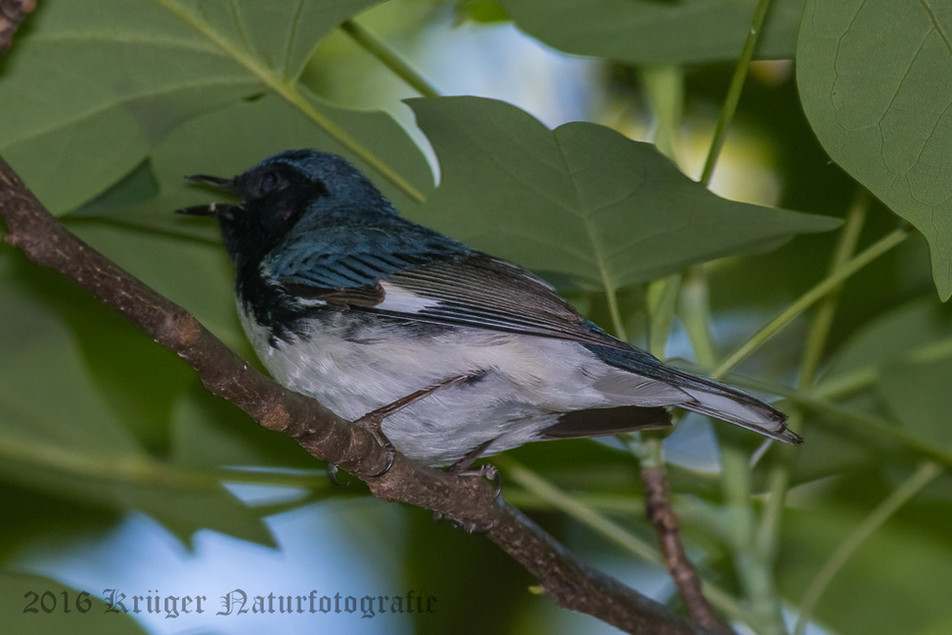 Black-throated Blue Warbler-5383