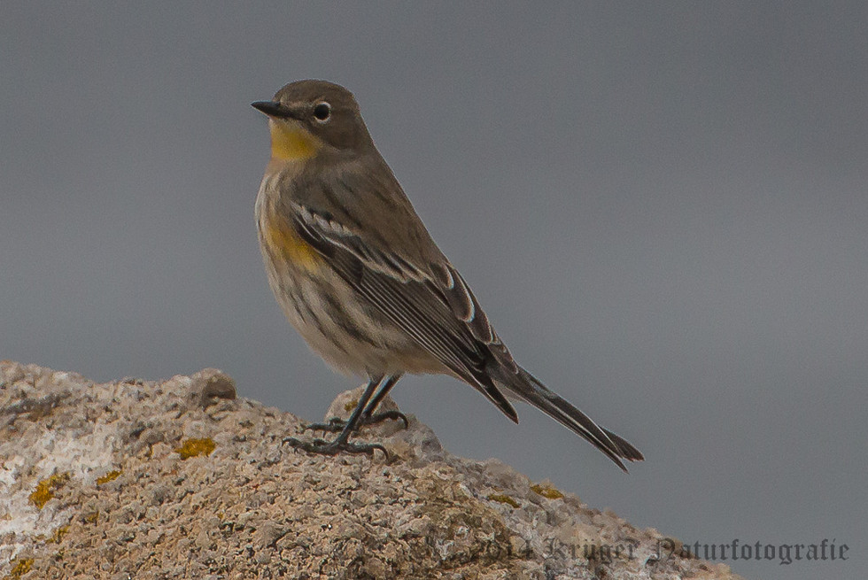 Audobon's Yellow-rumped Warbler-8287
