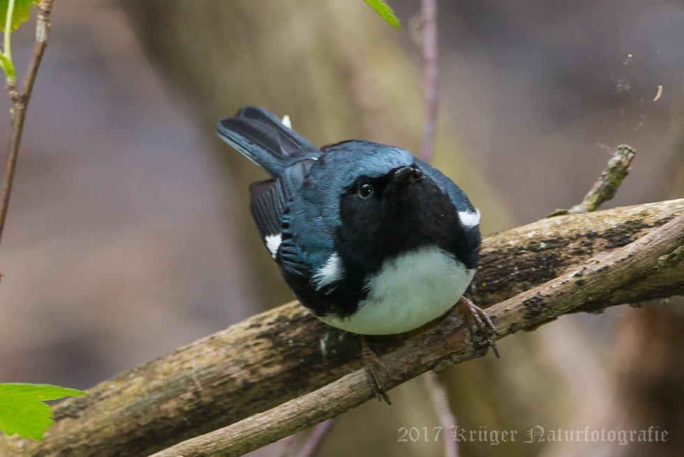 Black-throated Blue Warbler-5341