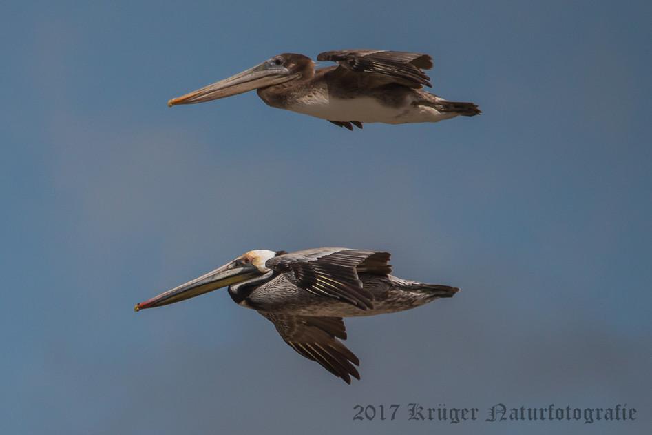 Brown Pelican-3987